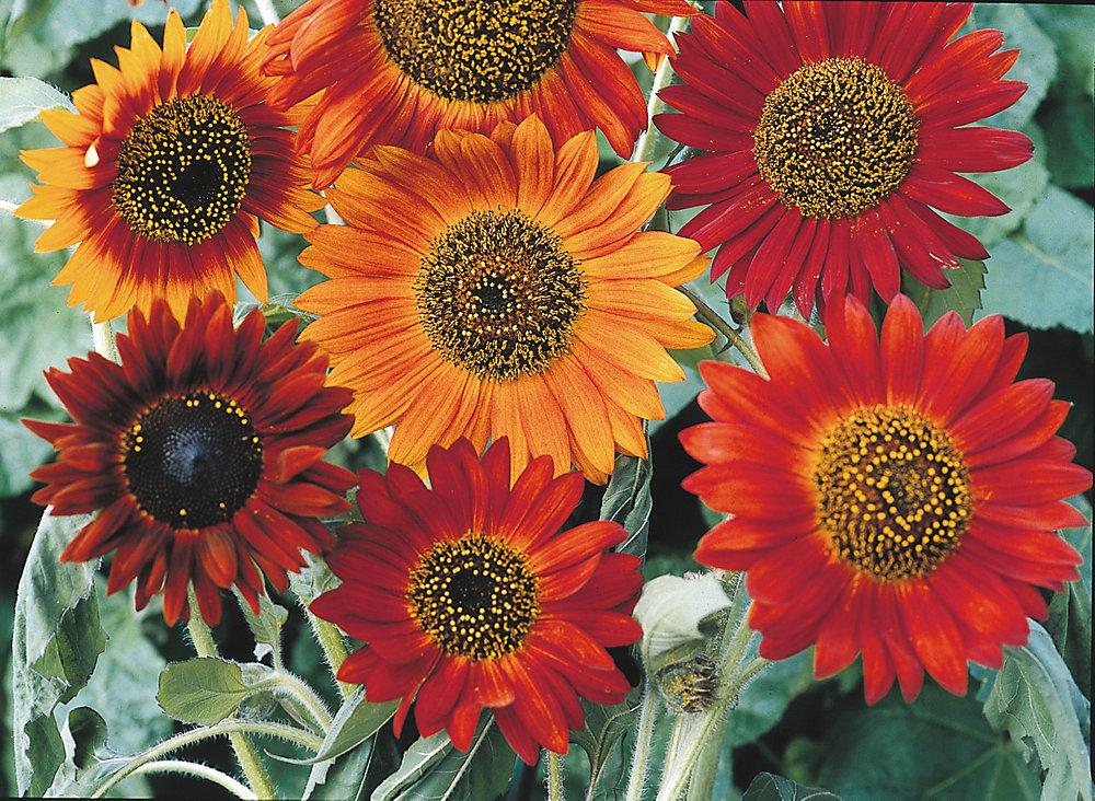 Sunflower Earthwalker Seeds