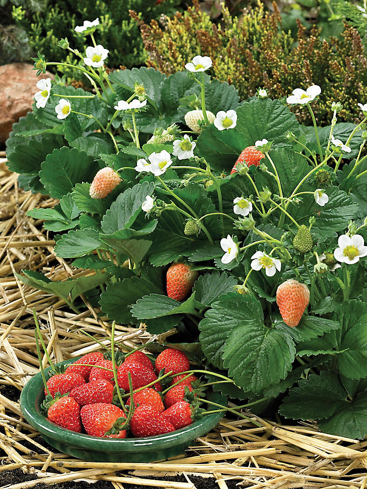 Strawberry Delician Seeds