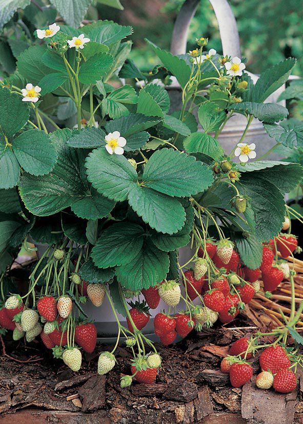 Strawberry Sweet Fresca