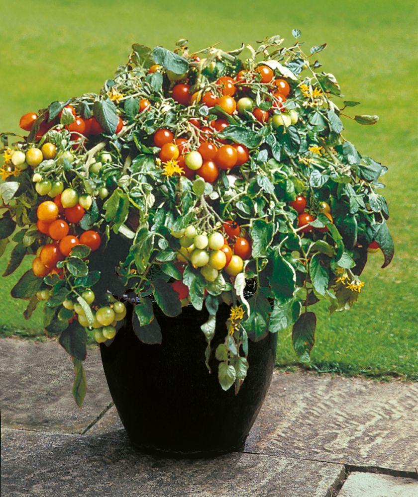 johnsons seeds tomato tumbler seeds the home depot canada. Black Bedroom Furniture Sets. Home Design Ideas