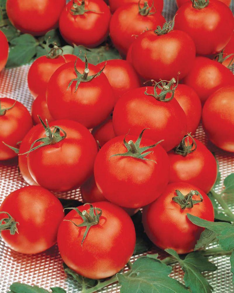 Tomate sparta f1