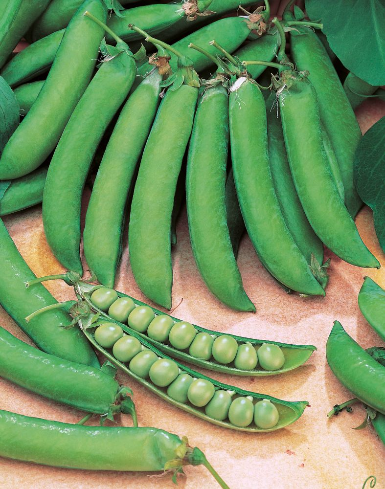 Mr. Fothergill's Seeds Pea Lincoln Homesteader Small Pack Seeds