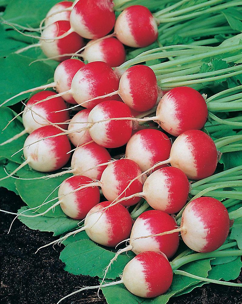 Radish Sparker 3 Seeds