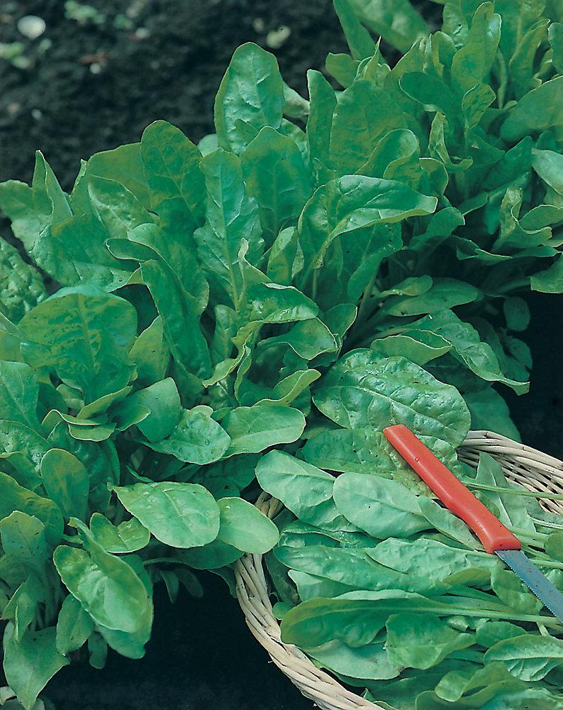 Spinach Perpetual Leaf Beet Seeds