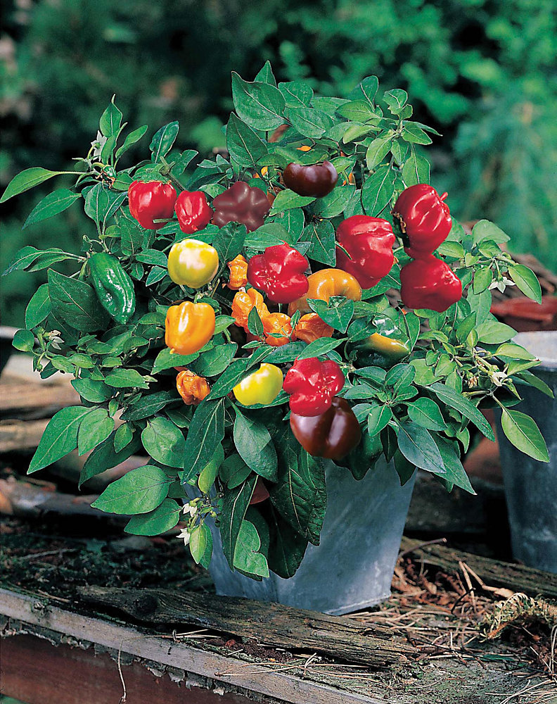 Pepper Sweet Minimix Seeds