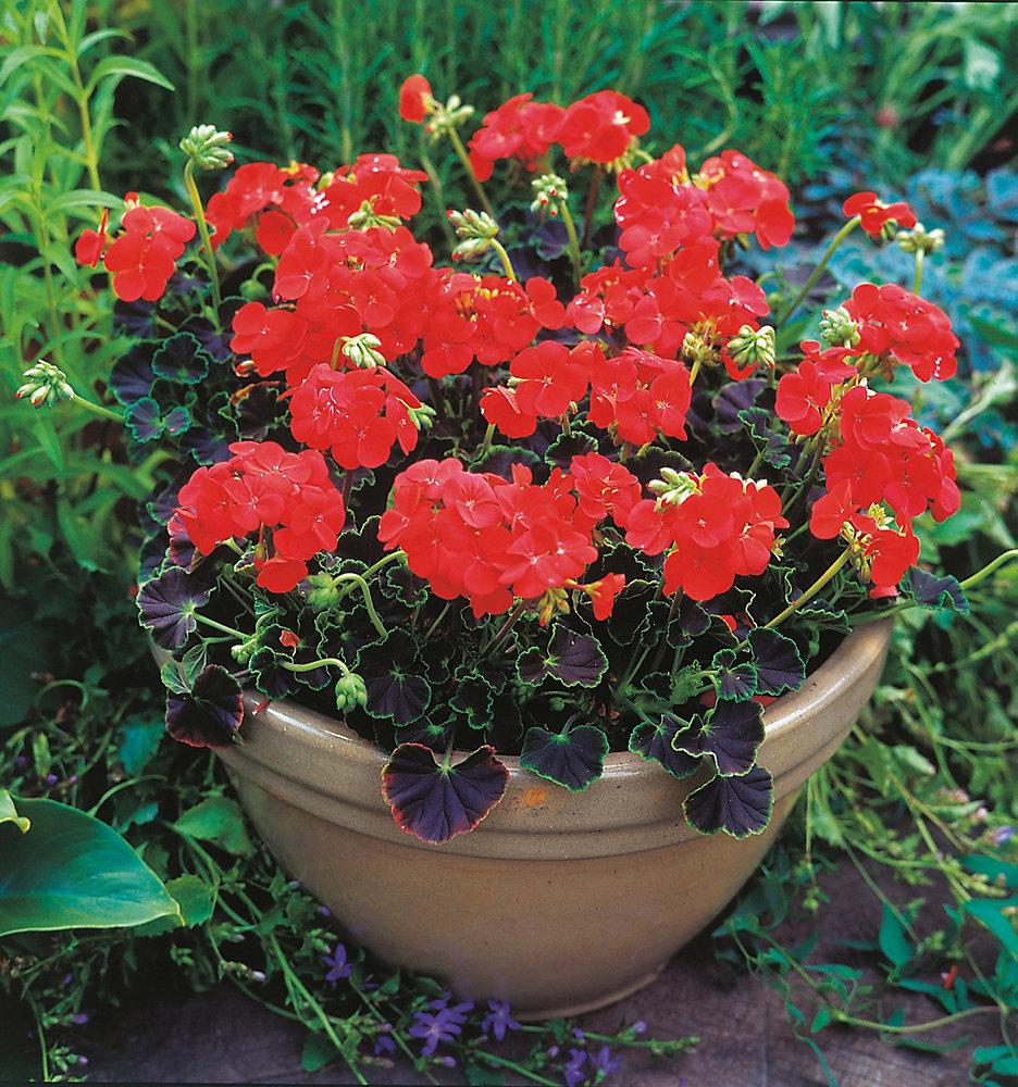 Geranium Black Magic Red F1 Seeds