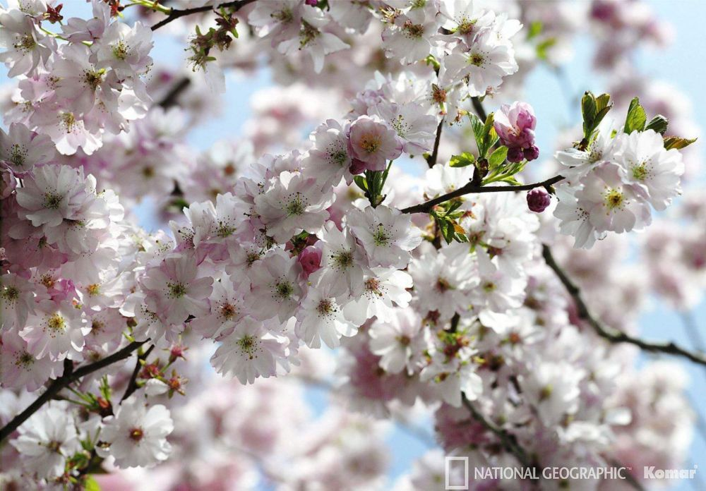 Spring Blossom Wall Mural