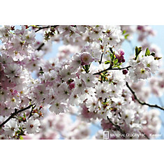 Spring Blossom Wall Mural
