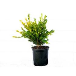 Landscape Basics 3 Gal. Boxwood Shrub