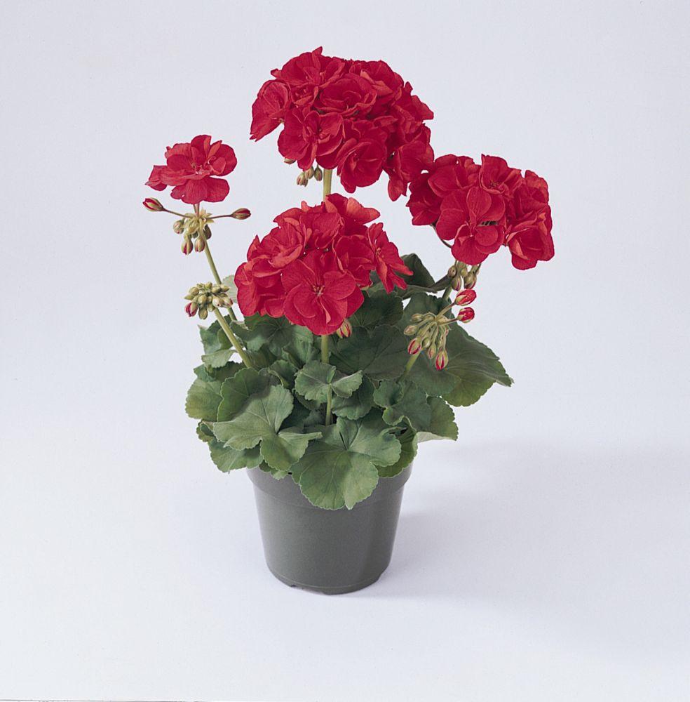 3,5'' geranium semis