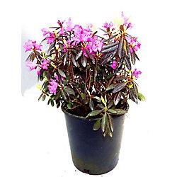 Vigoro Rhododendron PJM, 2 gallons