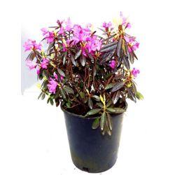Vigoro 2 Gal. PJM Rhododendron Bush