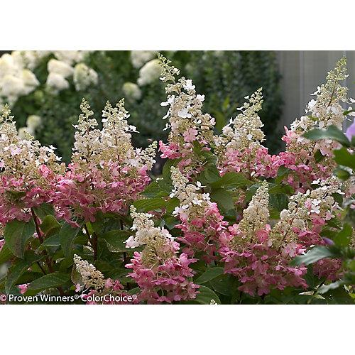 PW Hydrangea Pinky Winky 8 inch