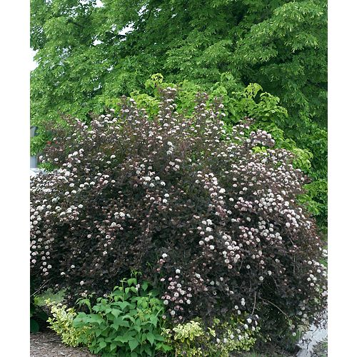 Proven Winners PW Physocarpus Summer Wine 8 inch