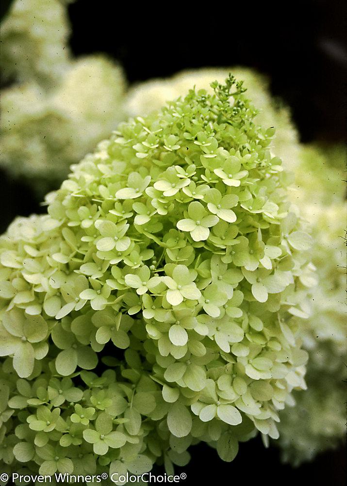 PW Hydrangea Limelight 8 inch