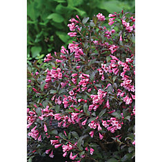 PW Weigelia Fine Wine 8 inch