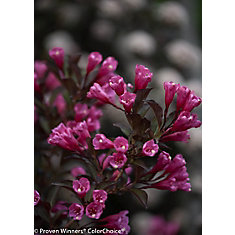 PW Weigela Wine and Roses 8 inch