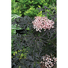 PW Sambucus Black Lace 8 inch