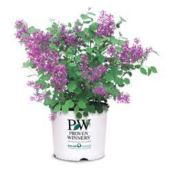 Proven Winners Dark Purple Lilac Bloomerang Plant
