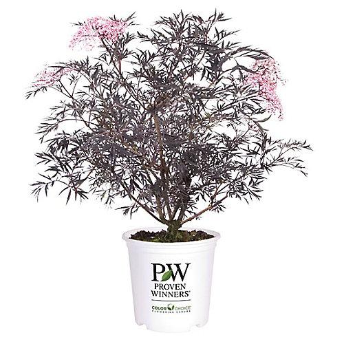 PW Black Lace Elder