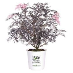 Proven Winners PW Black Lace Elder