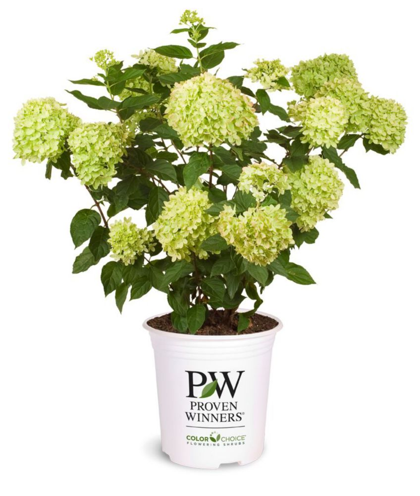 PW Hydrangea Little Lime