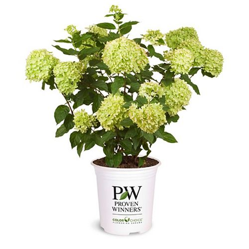 Proven Winners Hortensia Little Lime de PW