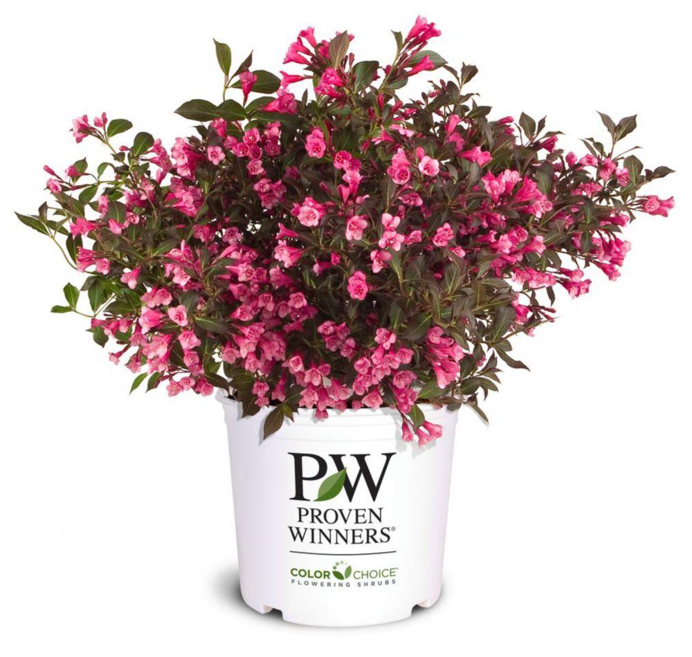 Weigela Wine & Roses de PW