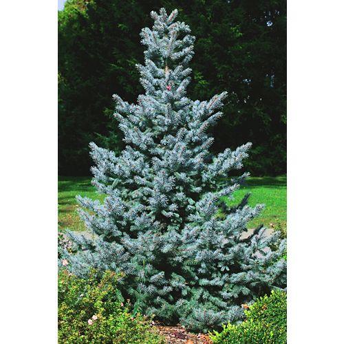 Landscape Basics 10 Gallon Baby Blue Spruce