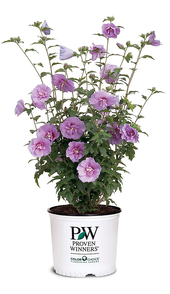 PW Hibiscus Lavender Chiffon