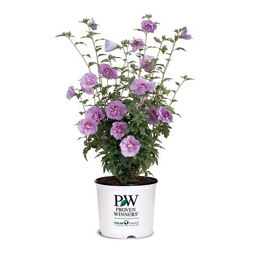 Proven Winners PW Hibiscus Lavender Chiffon