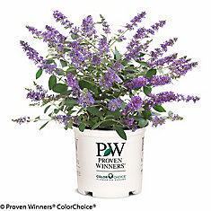 PW Butterfly Bush Lo & Behold Blue Chip Jr.