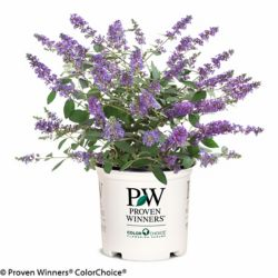 Proven Winners PW Butterfly Bush Lo & Behold Blue Chip Jr.