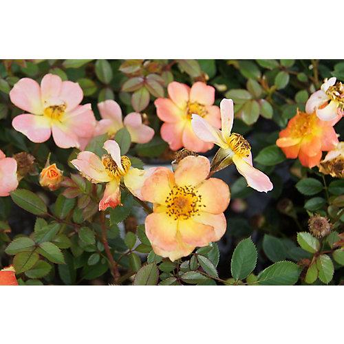 8-inch Roses Shrub