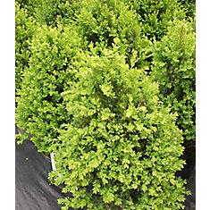 Arbuste 12 po Assortis