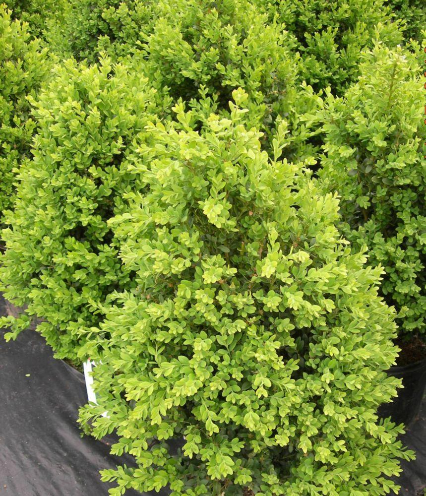 Landscape Basics 12-inch Assorted Boxwood Shrub