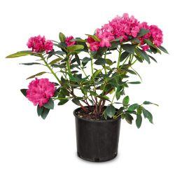 Landscape Basics 5 Gallon Pink Delight Rhododendron