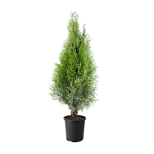 2 Gallon Emerald Cedar Hedge (15ft. At Maturity)