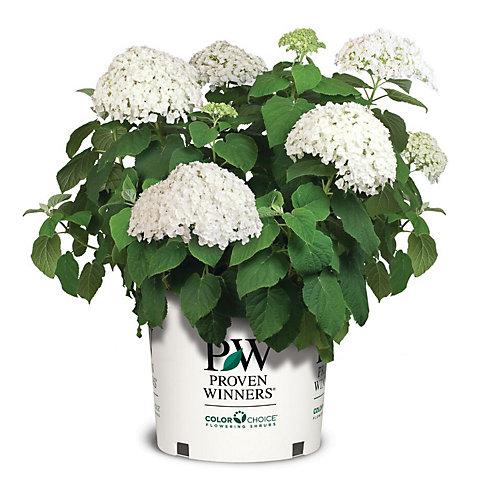 Hydrangea Incrediball Plant