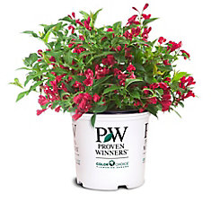 PW Weigela Sonic Bloom Red