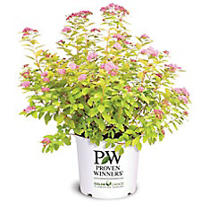 PW Spirea Double Play Big Bang