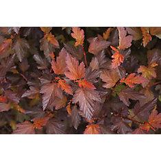 PW Physocarpus Coppertina 8 inch