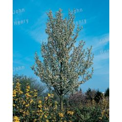 Landscape Basics Pear Tree 7g