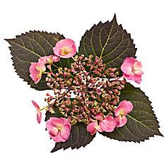 PW Hydrangea Tuff Stuff 8 inch