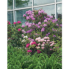 Rhododendron 3g