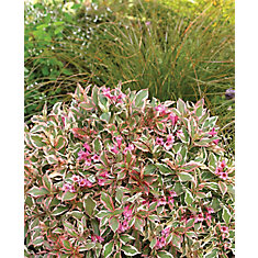 PW Weigela My Monet 8 inch