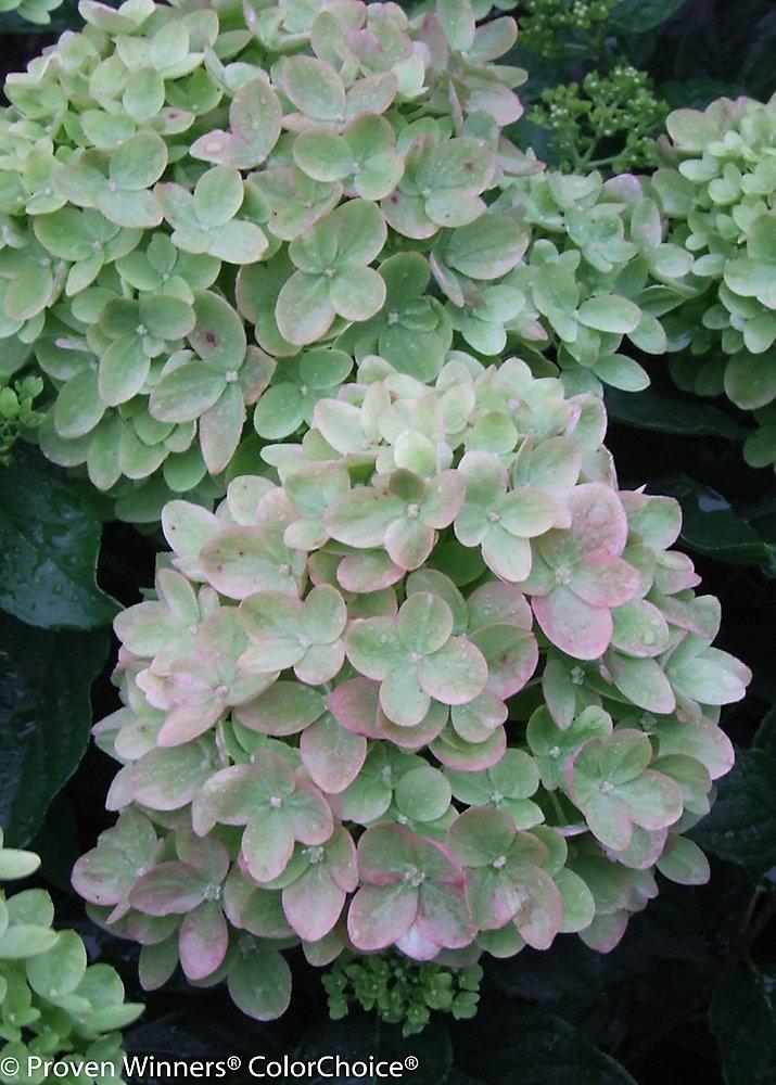 PW Hydrangea Little Lime 8 inch