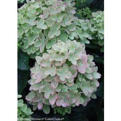 Proven Winners PW Hydrangea Little Lime 8 inch