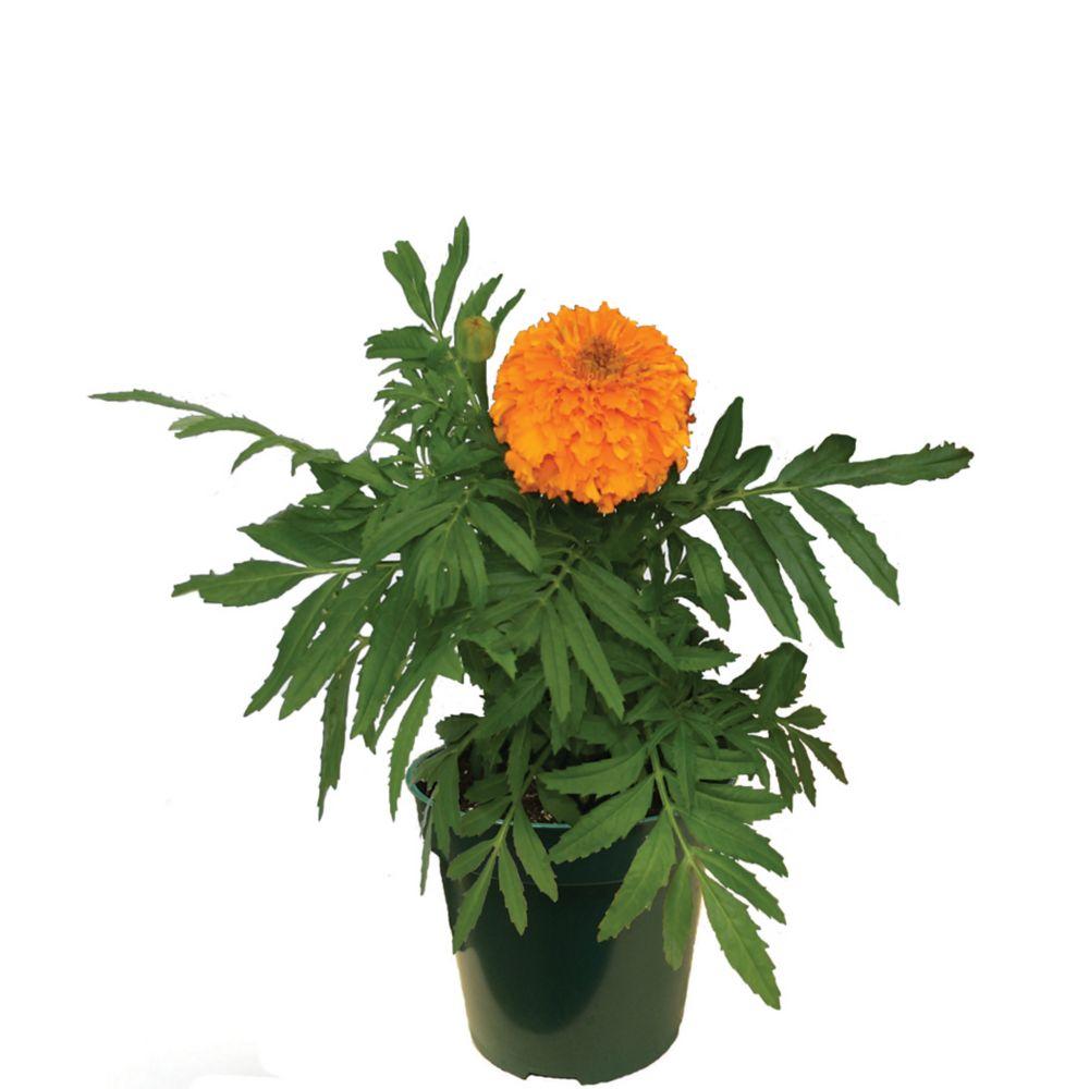 Marigold 3.5 Inch