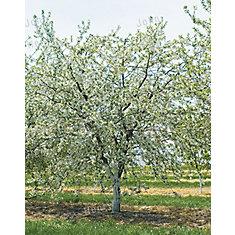 Cerisier 7 g